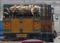 توقیف کامیون حامل ۵٦ راس گوسفند قاچاق در ایست بازرسی پیرانشهر