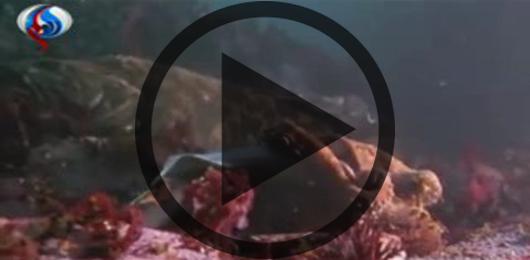 لحظه شکار حیوانات/کوسه ای که طعمه هشت پای عظیم الجثه می شود