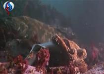 لحظه شکار حیوانات/کوسه ای که طعمه هشت پای عظیم الجثه می شود+فیلم